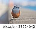 琵琶湖のイソヒヨドリ 38224042