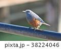 琵琶湖のイソヒヨドリ 38224046