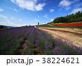 花畑 青空 ラベンダーの写真 38224621