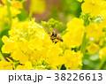 菜の花 蜜蜂 花の写真 38226613