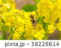 菜の花 蜜蜂 花の写真 38226614