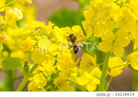 菜の花と花粉団子をつけたミツバチ 38226614