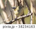 鶯の幼鳥 38234163