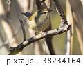 鶯の幼鳥 38234164