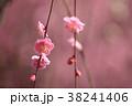 梅の花 38241406