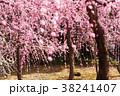 梅の花 38241407