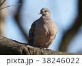 ハト キジバト 鳥の写真 38246022