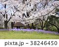 桜 春 花大根の写真 38246450