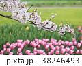 桜 チューリップ ソメイヨシノの写真 38246493