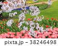 桜 チューリップ ソメイヨシノの写真 38246498