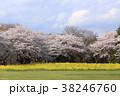 桜 菜の花 春の写真 38246760