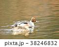 鴨 鳥類 鳥の写真 38246832