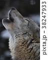 オオカミの遠吠え 38247933