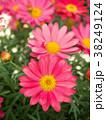 ピンクの花 マーガレット 花の写真 38249124