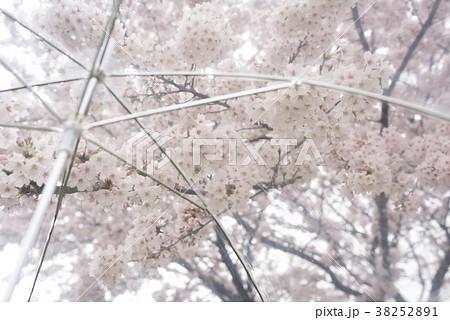 雨の日の桜 38252891