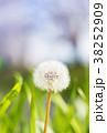 春 たんぽぽ 綿毛の写真 38252909