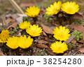 フクジュソウ 花 黄色の写真 38254280