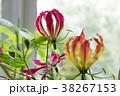 花 グロリオサ キツネユリの写真 38267153