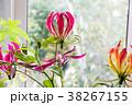 花 グロリオサ キツネユリの写真 38267155