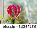 花 グロリオサ キツネユリの写真 38267156