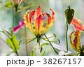 花 グロリオサ キツネユリの写真 38267157