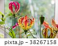 花 グロリオサ キツネユリの写真 38267158