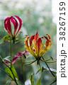 花 グロリオサ キツネユリの写真 38267159