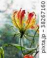 花 グロリオサ キツネユリの写真 38267160