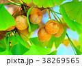 イチョウ 銀杏 秋の写真 38269565