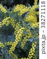 ギンヨウアカシア ハナアカシア アカシアの写真 38271118