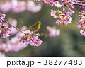 桜とメジロ 38277483