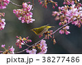 桜とメジロ 38277486