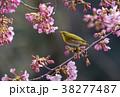 桜とメジロ 38277487