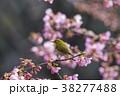 桜 目白 花の写真 38277488