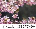 桜とメジロ 38277490