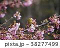 メジロと桜 38277499
