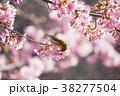 メジロと桜 38277504