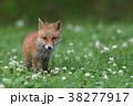 キタキツネ 子ギツネ 狐の写真 38277917