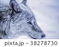 オオカミ 雪 動物の写真 38278730