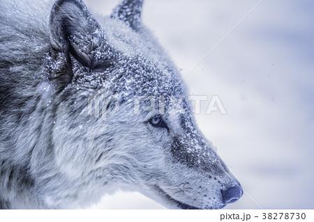 オオカミ 38278730