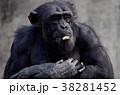 チンパンジー 動物 哺乳類の写真 38281452