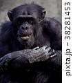 チンパンジー 動物 哺乳類の写真 38281453