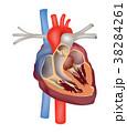心臓 動脈 ハートのイラスト 38284261