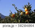 柑橘類 みかん 蜜柑の写真 38284864