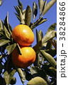 柑橘類 みかん 蜜柑の写真 38284866
