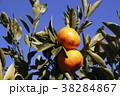 柑橘類 みかん 蜜柑の写真 38284867