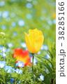 チューリップ 鬱金香 花畑の写真 38285166
