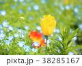 チューリップ 鬱金香 花畑の写真 38285167