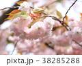 桜 開花 花の写真 38285288
