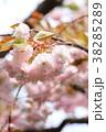 桜 開花 花の写真 38285289